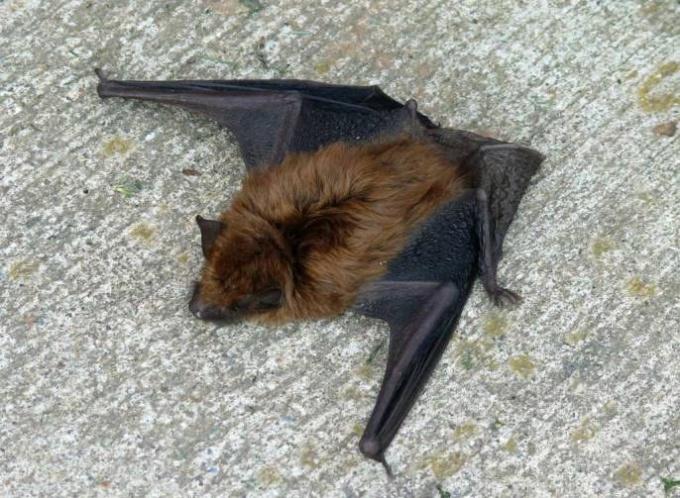 летучие мыши в неволе