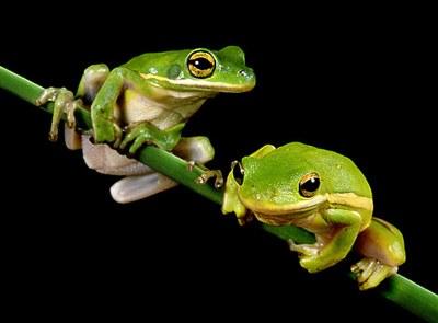 как отличить самку лягушки от самца