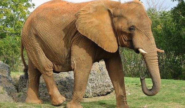 Как нарисовать слона карандашом