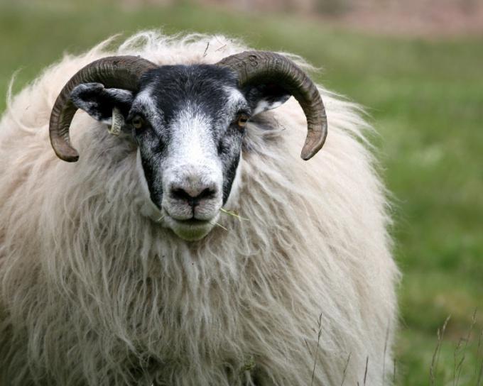 Как мыть овечью шерсть