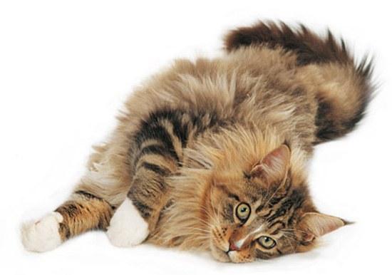 как мыть кошкам уши