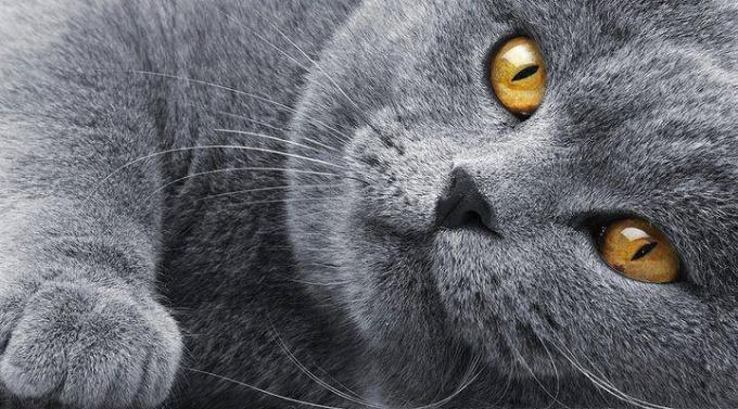 как вязать британских кошек