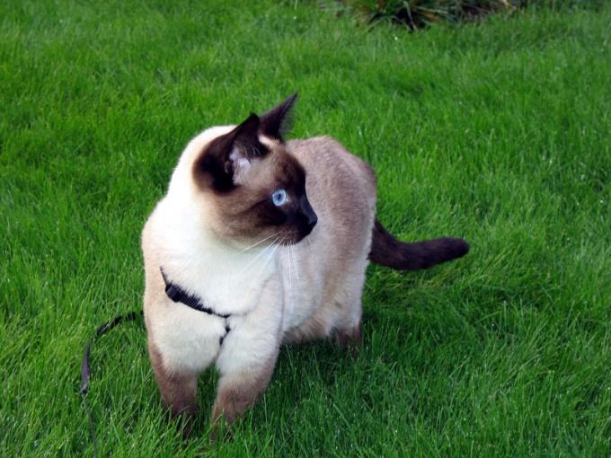 Как надеть шлейку на кошку