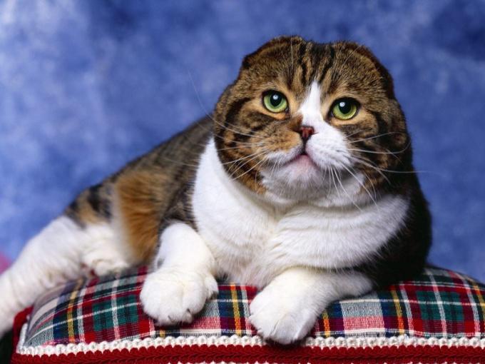 в каком возрасте можно вязать шотландскую кошку
