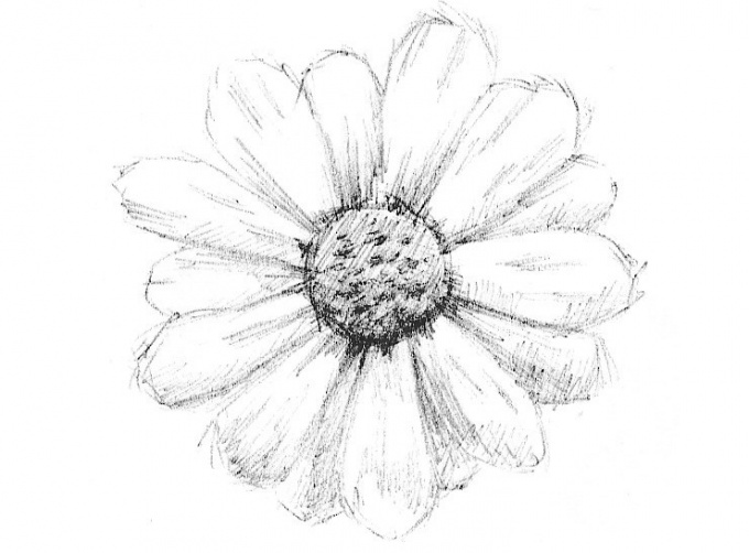 How to draw a Daisy with a pencil in stages