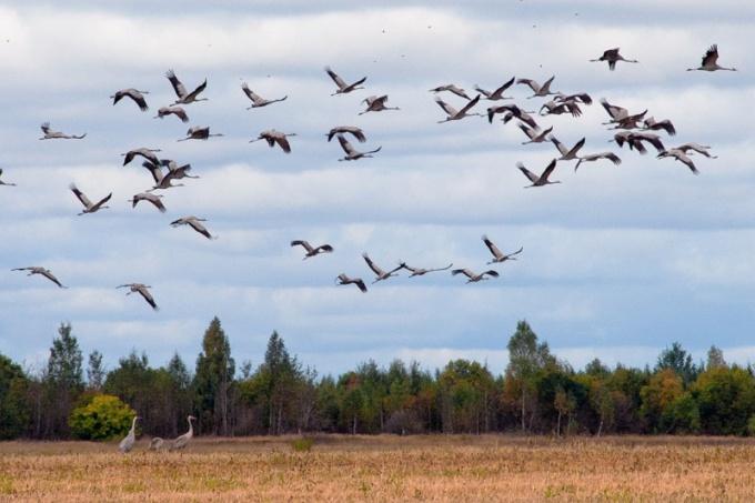 Куда улетают перелетные птицы