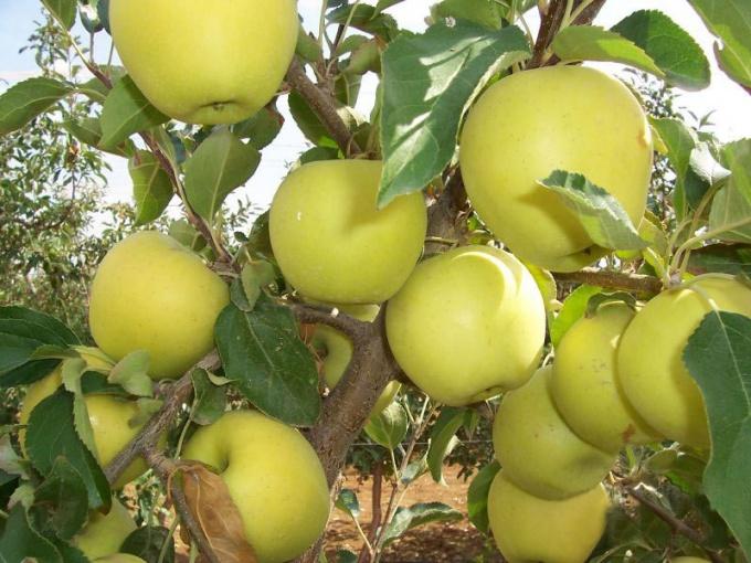 Как выращивать фрукты