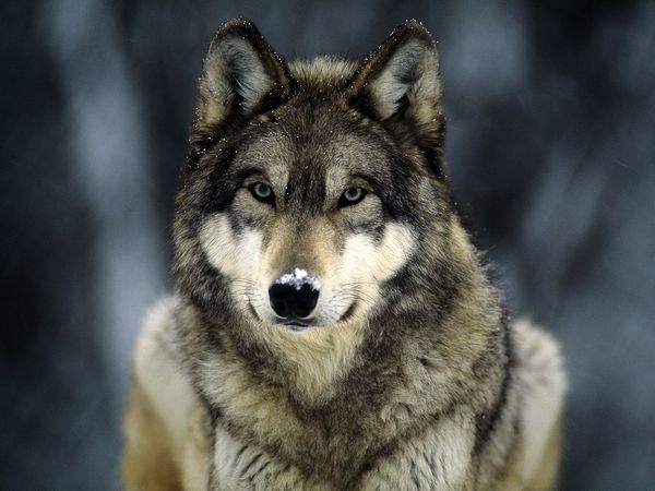 как отличить щенка собаки от волчонка