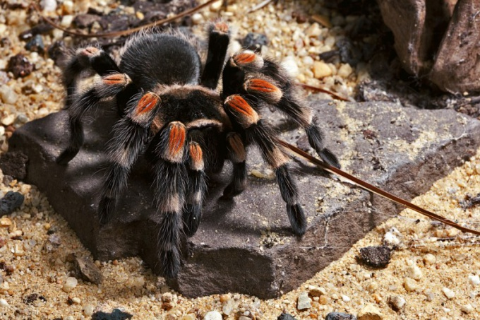 Как нарисовать тарантула