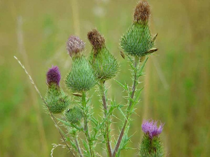 How to get rid of sow Thistle