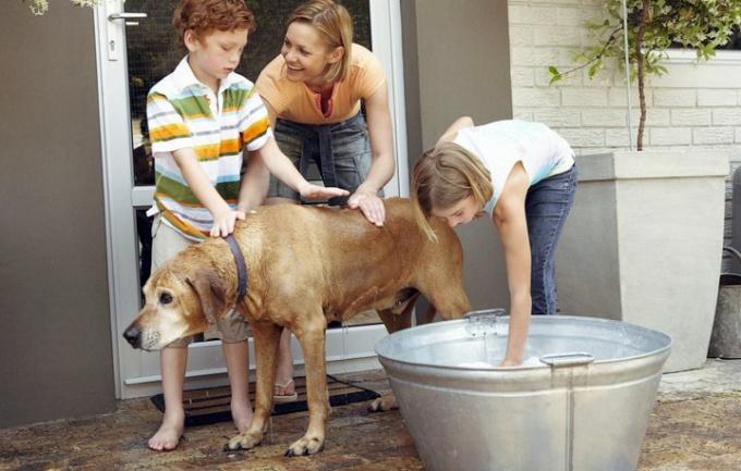 как мыть гулять играть ухаживать за лабрадором
