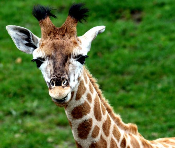 Как играть в жирафа
