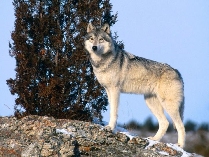 Как нарисовать волка поэтапно