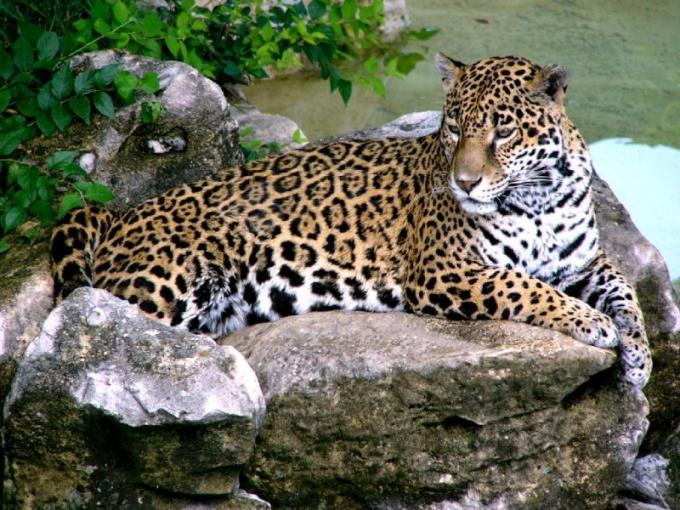 Как нарисовать карандашом леопарда