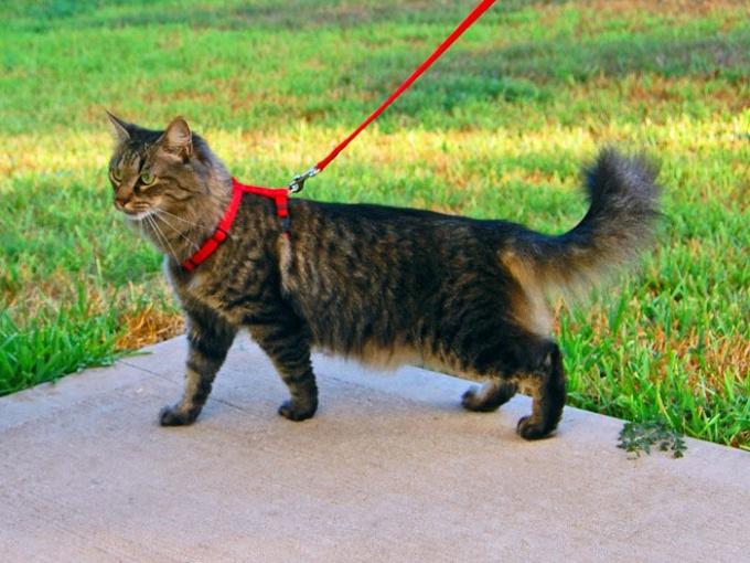 Как надевать шлейку на кошку