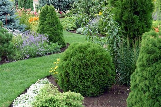 How to trim thuja
