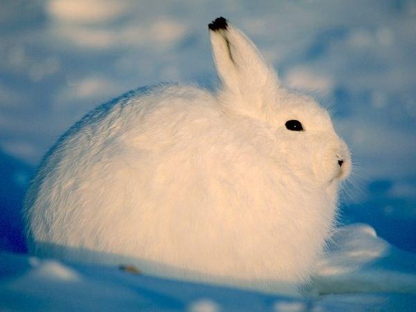 откормить кролика