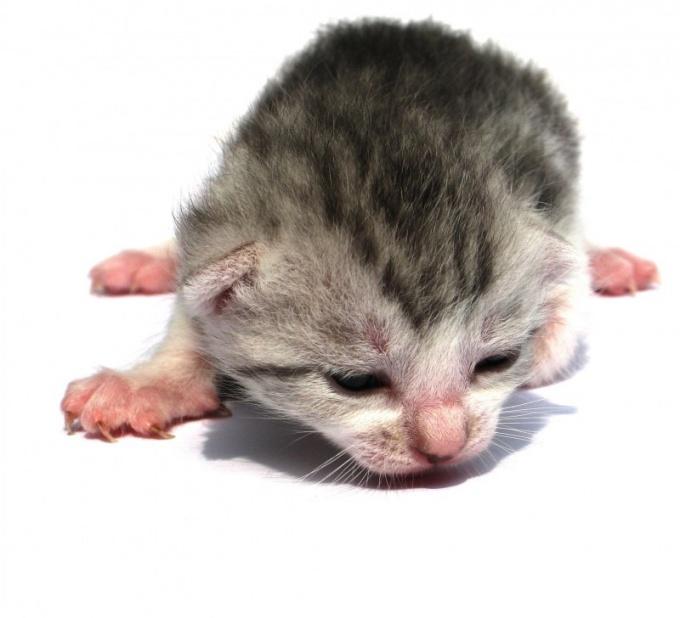 Как откормить слабого котенка