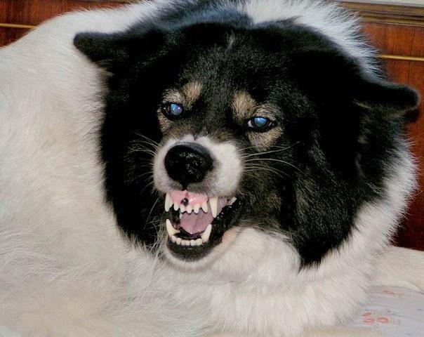 Как обработать рану после укуса собаки