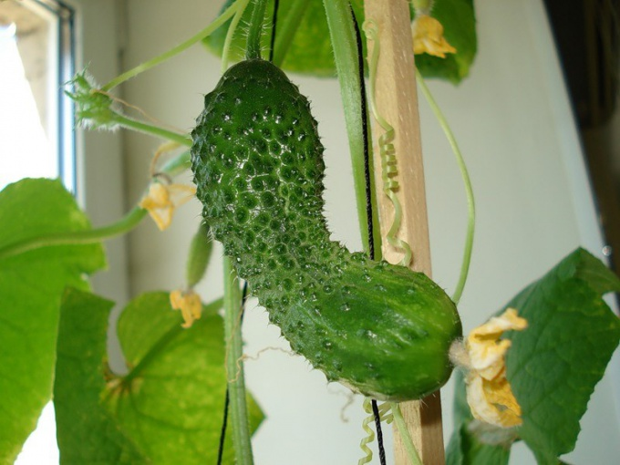 How to grow cucumber on the windowsill