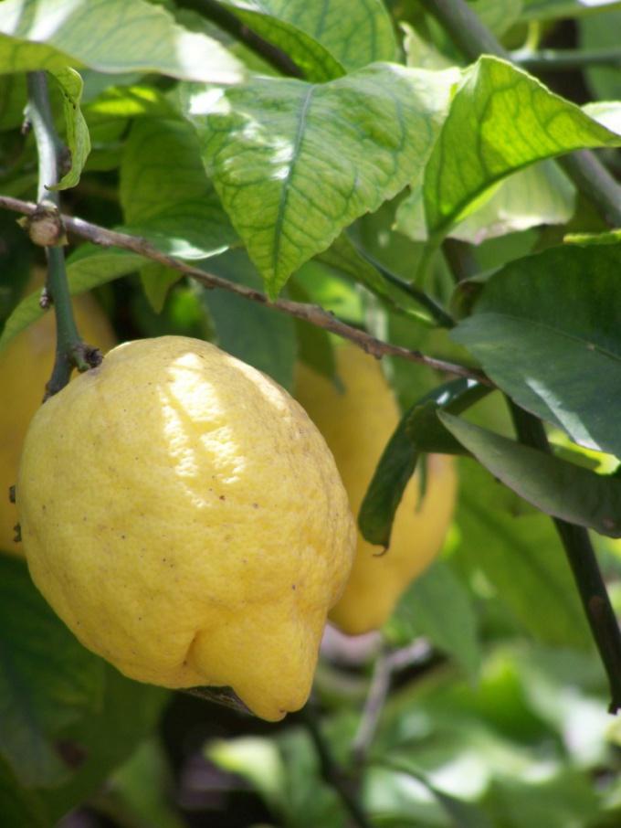 Сок лимона поможет осветлить волосы