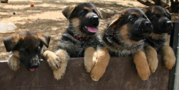 овчарка обучаем собаку командам