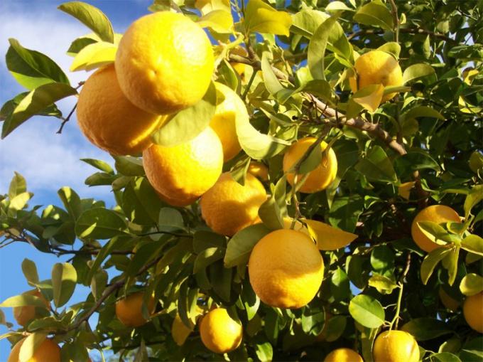 Lemon will make hair shiny and strong
