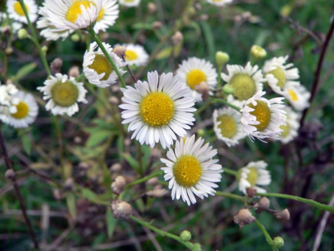 Chamomile helps to strengthen the hair