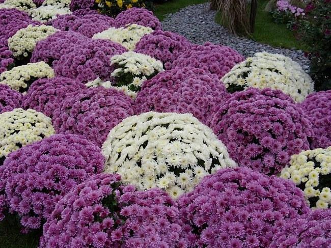 Как из черенка вырастить хризантему
