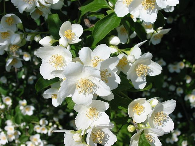 How to prune Jasmine