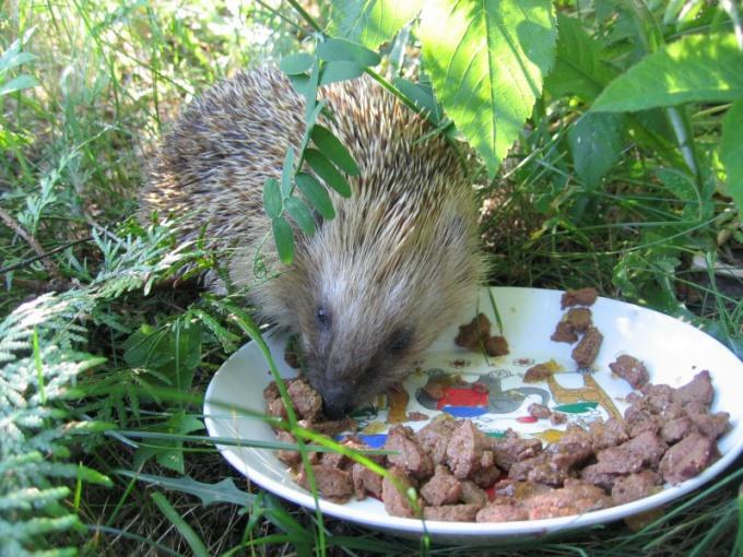 How to call a hedgehog