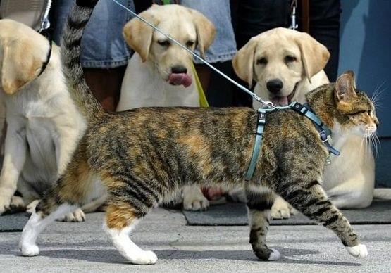 поводок для кота