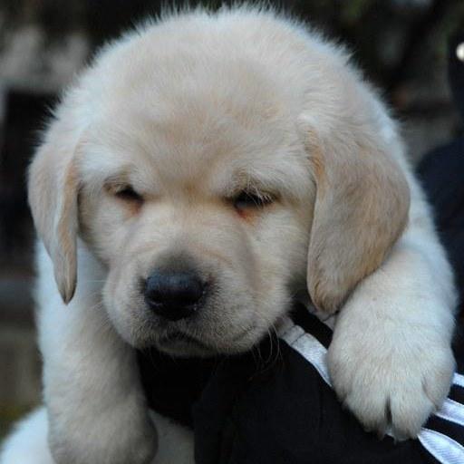 How to wean biting Labrador