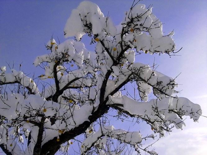 Как в зиму сохранить яблони