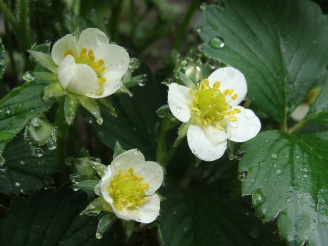 How to pollinate strawberries