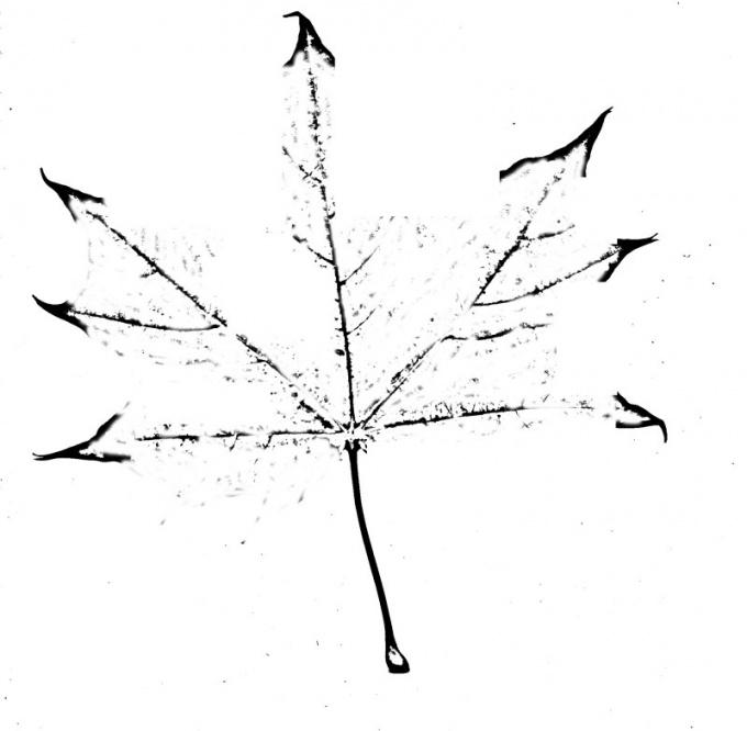Нижние жилки кленового листа располагаются под прямым углом к центральной