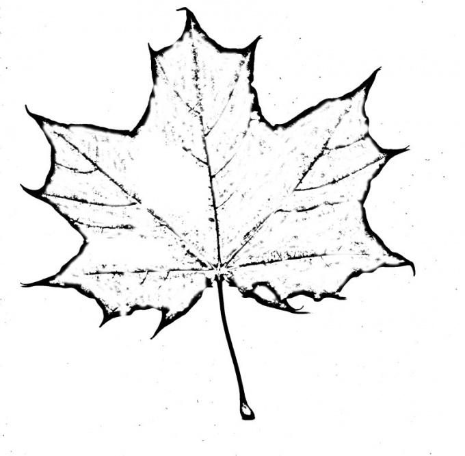 Прорисуйте контуры кленового листа