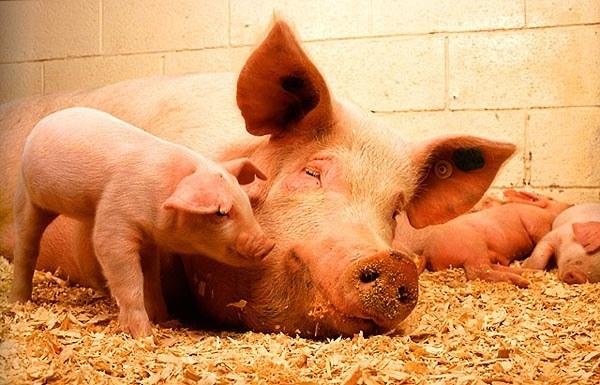 как апределить свинаматка беремена прашло два месеца