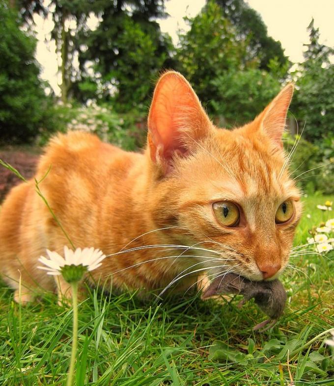 как перевести котёнка на натуральный корм