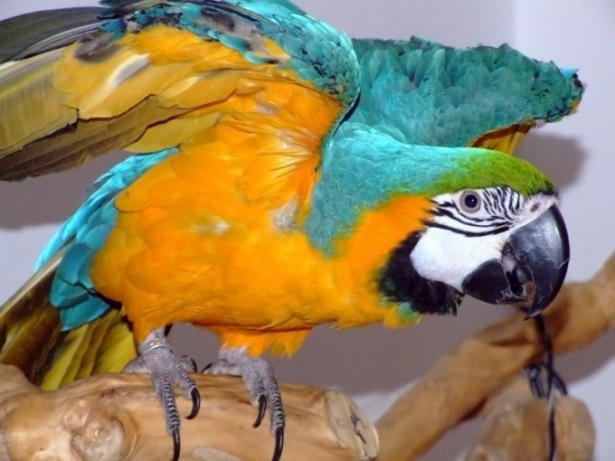 как обрезать когти попугаю