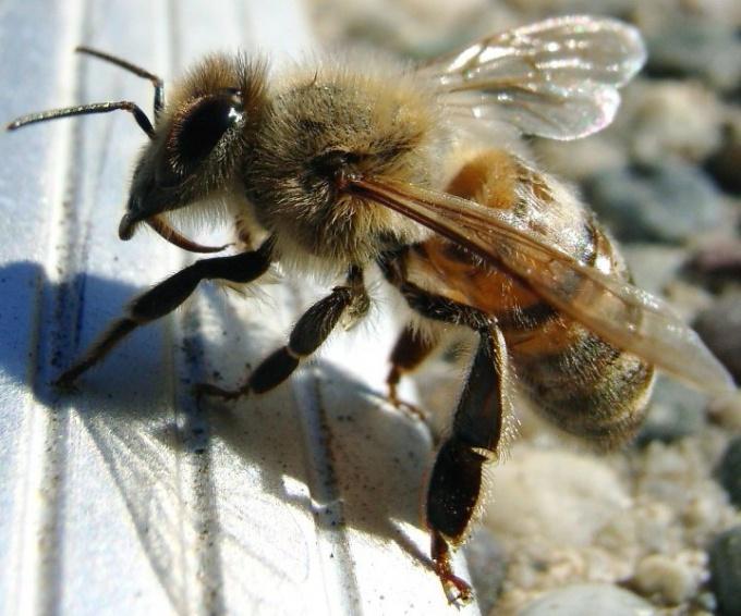 Почему жалит пчела