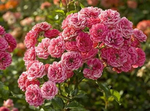 Как посадить розовый куст