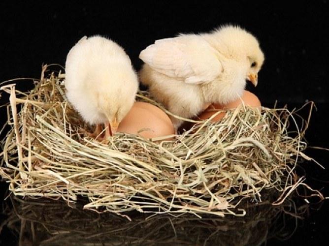 Что было раньше - яйцо или курица