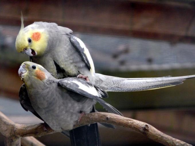 определение возраста и пола у кореллы попугаев