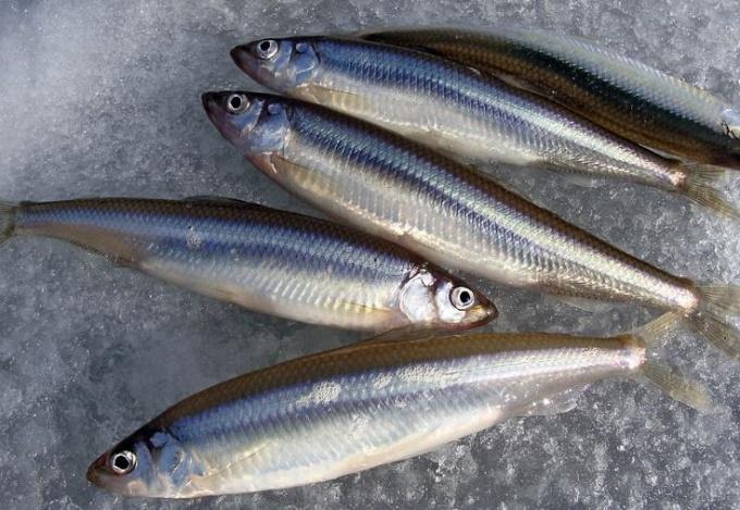 Как ловить корюшку в Финском заливе