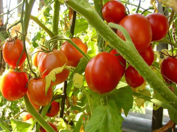 How to grow tomatoes in a greenhouse