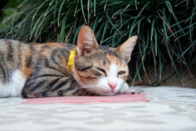 Как надеть на кота ошейник