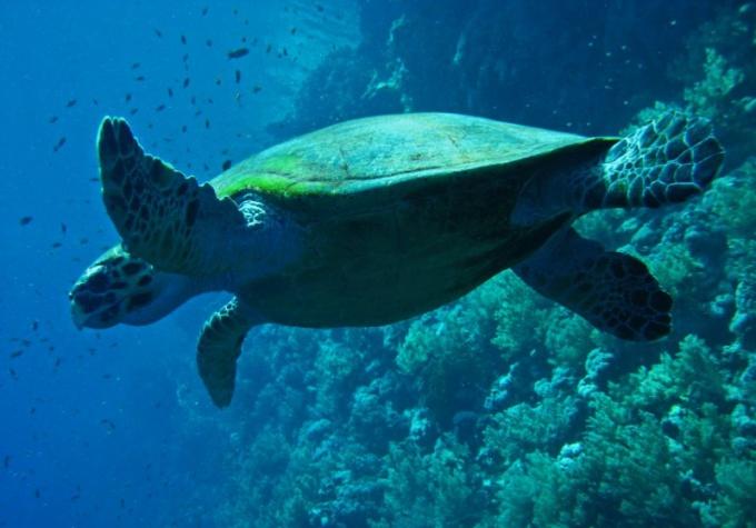 Почему вымерли Абингдонские слоновые черепахи