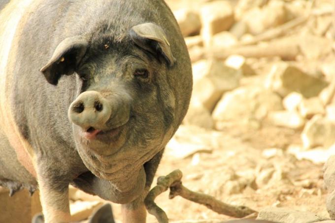 Как поражает африканская чума свиней