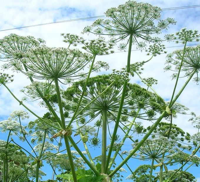 How dangerous Hogweed